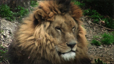 Slow motion with a adult lion on a tree trunk resting Footage