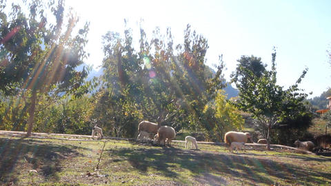 Sheep in ray of sun Footage