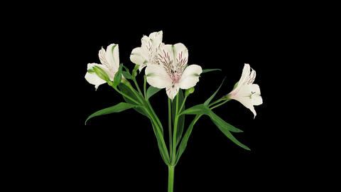 Time-lapse of opening white peruvian lily, DCI 4K Footage
