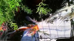 Koi Pond stock footage