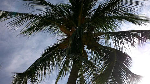 Coconut Palm Tree 01 Stock Video Footage