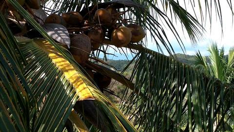 Coconut Palm Tree 05 closeup Stock Video Footage