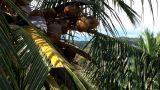 Coconut Palm Tree 05 closeup Footage