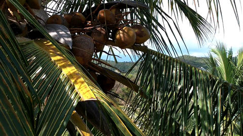 Coconut Palm Tree 05 closeup Stock Video Footage
