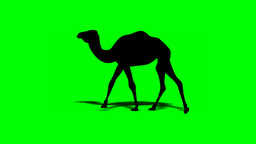 CAMEL WALK (shape) Stock Video Footage