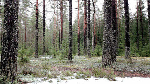 Pine Forest stock footage