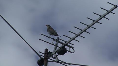 Bird On The Antenna stock footage