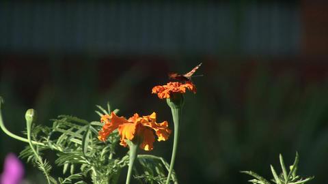 Butterfly Flower stock footage