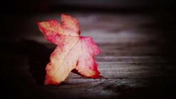 Vibrant Autumn - Fall Leaf HD stock footage Footage