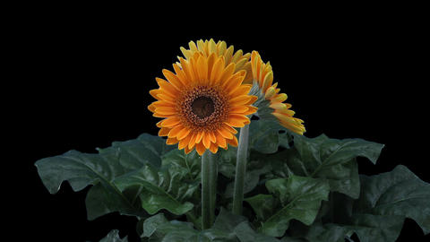Growing, opening and rotating orange gerbera with ALPHA Footage