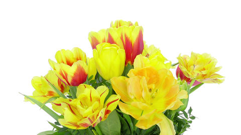 Growing, opening and rotating tulips bouquet, DCI 4K Footage