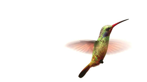 Humming Bird On White Background, 3d Animation stock footage