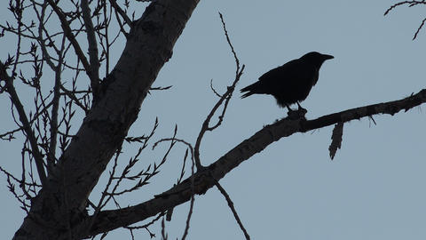 Crow Silohette Eating A Rat stock footage