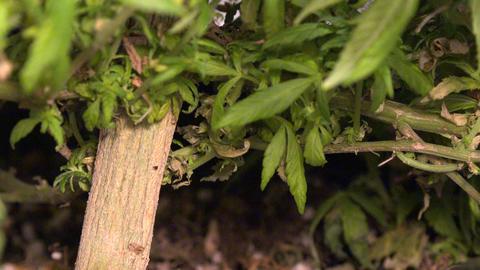 Marijuana Plant Big Stalk - Zoom Out stock footage