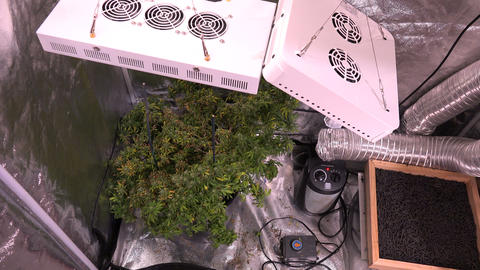 Marijuana Plant Small Bud - Zoom Out stock footage
