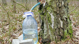 Birch Sap (juice) Dripping To The Bottle 2 stock footage