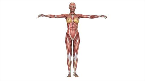女性の人体模型 Animation