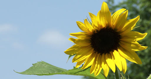 Bright yellow sunflower growing Footage