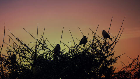 Sparrows on a branch during sunset Footage