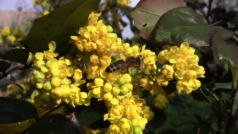 Bee on yellow flower for mahogany 03 Footage