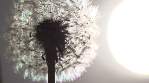 Dandelion Size of the Sun Footage