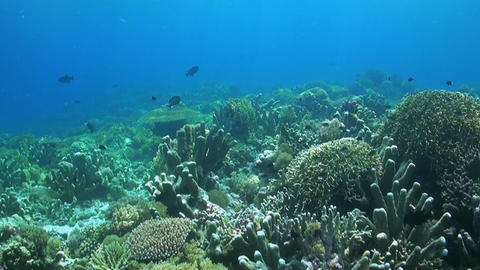Coral reef with healthy hard and soft corals Footage