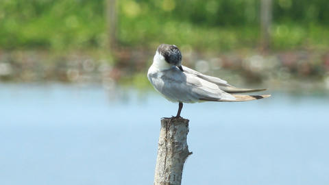 Resting Seagull On The Pole stock footage