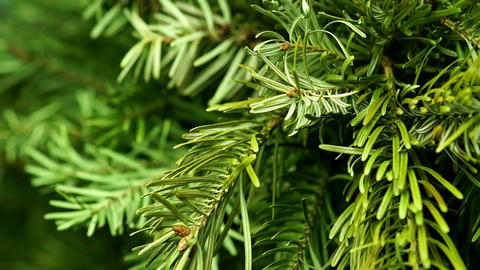 Coniferous Tree Rotate Footage