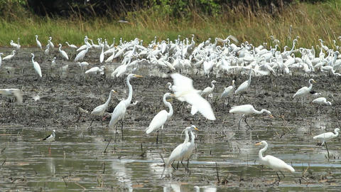 Many egret in the swamps Footage