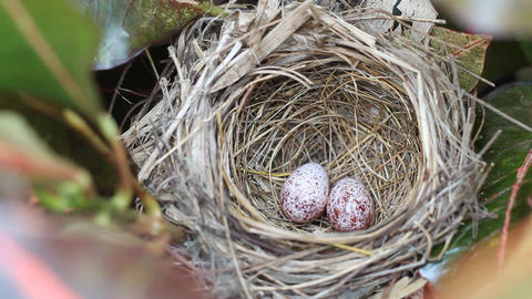 Yellow-vented Bulbul eggs in the bird nest Footage