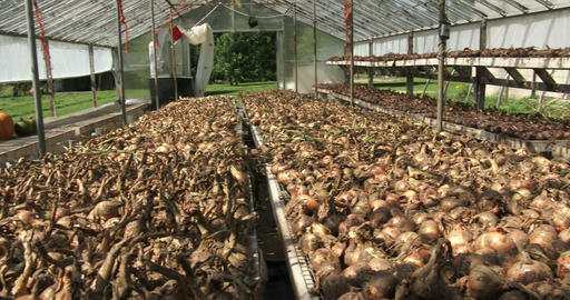 Onions drying in a greenhouse Footage