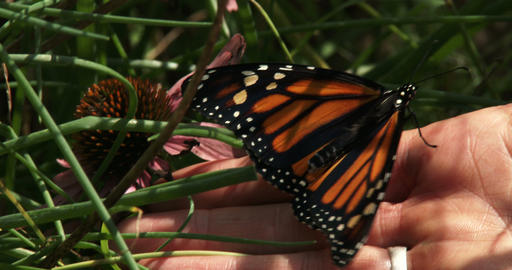 Hand of a woman holding Monarch butterfly Footage