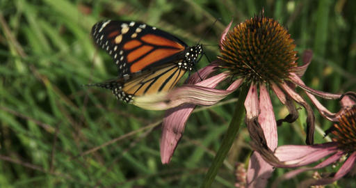 Monarch Butterfly On A Flower stock footage