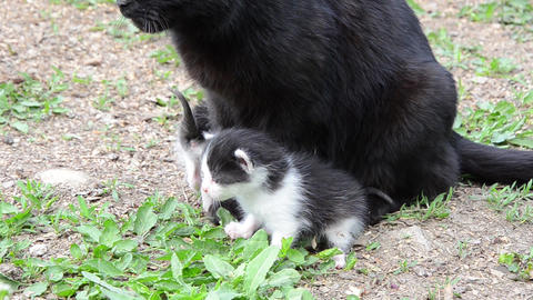 Black cat and her two cubs 03a Footage