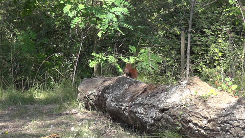 Squirrel 01 Footage