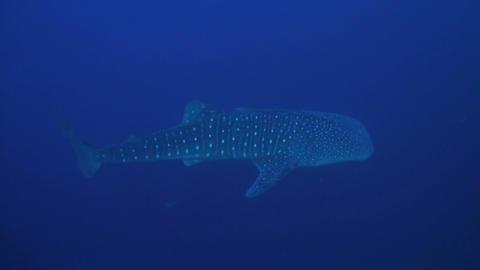 Whale shark in blue water ภาพวิดีโอ