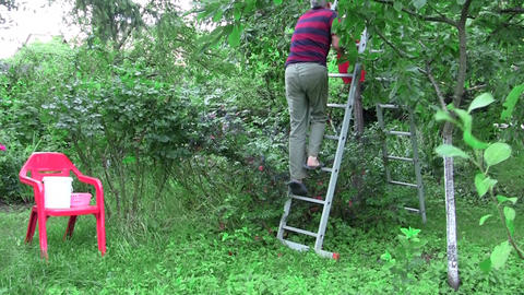 Sour cherries pickers climbed on a scale 01 Footage