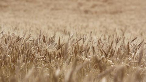 Wheat field 07 Footage