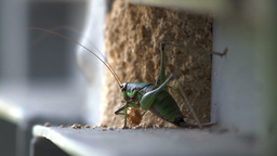 Grasshopper eating Stock Video Footage