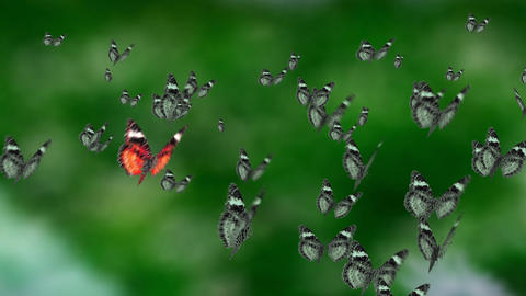 contrast mass butterfly Stock Video Footage