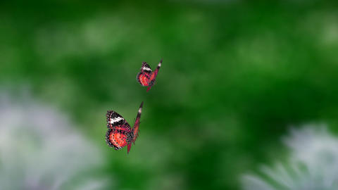 red couple butterfly Stock Video Footage