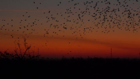 A lot of birds with the energy industry at sunset Stock Video Footage