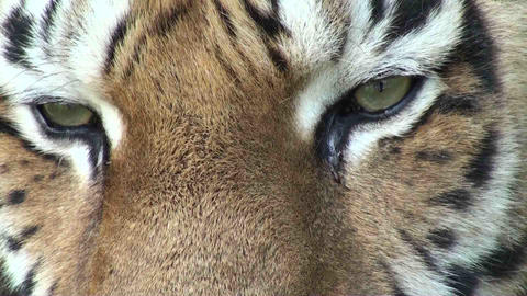 tiger eyes 2 Stock Video Footage