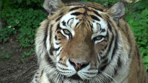 tiger portrait Stock Video Footage