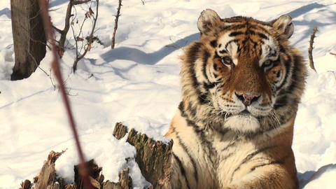 tiger portrait in snow Stock Video Footage