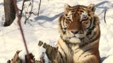 Tiger Portrait In Snow stock footage