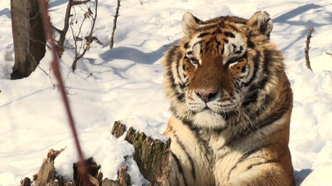 tiger portrait in snow Footage