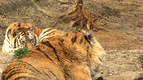 group of tigers resting Stock Video Footage