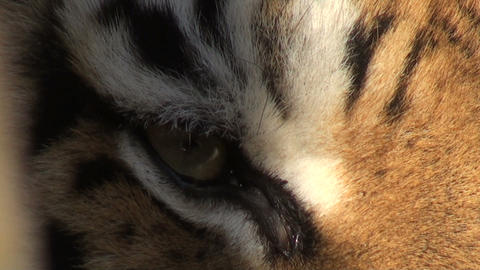 eye of the tiger Stock Video Footage