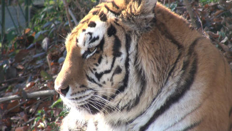 head of tiger Stock Video Footage
